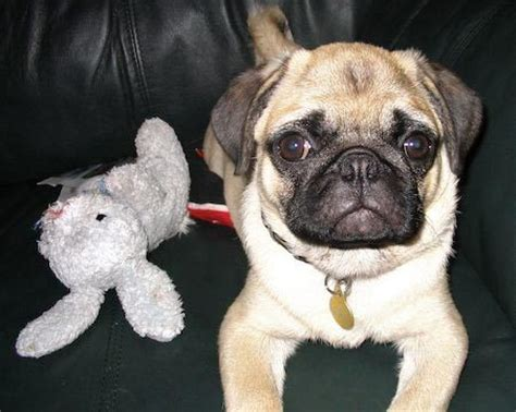 pugsley the pug pugsley the pug dogs daily puppy