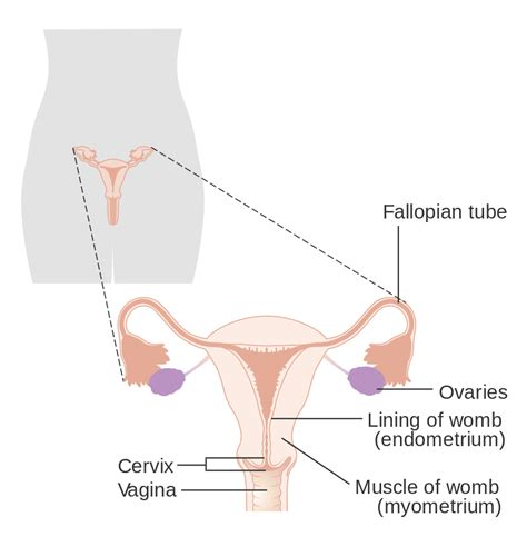 womens diagram reproductive system seen from the front
