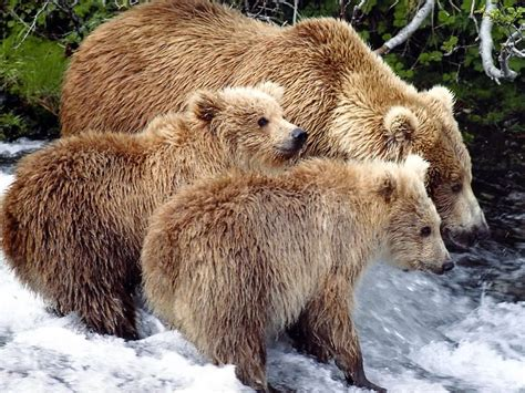animal wildlife grizzly bear images   information