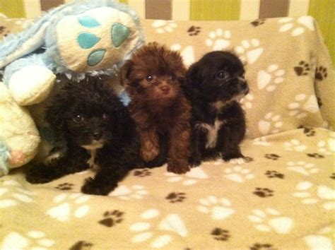 poochie puppy adorable poochie puppies for sale orpington kent pets4homes
