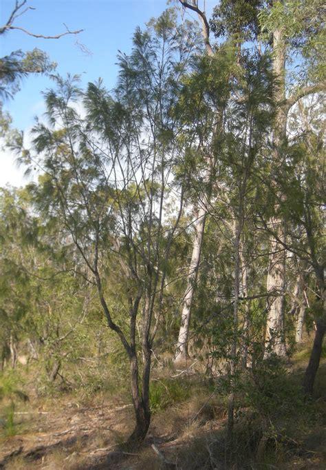 forest sheoak   plants garden supplies