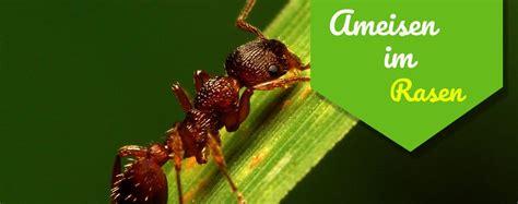 Gro E Ameisen Im Garten 4992 schwarze wegameise bekmpfen great ameisen bekmpfen garten