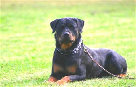 about rottweilers behavior welcome the breeds adoption behavior a bit