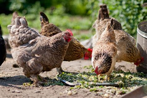 how to have chickens in your backyard backyard chickens how to grow your own feed while increasing flock health