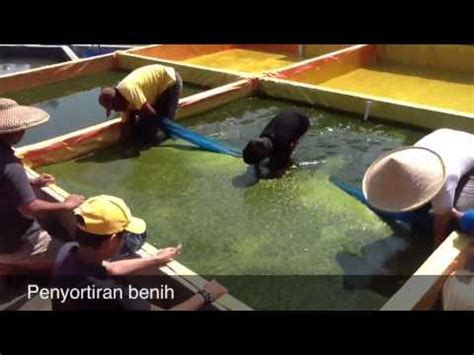 Bibit Lele Sangkuriang Boyolali budidaya lele sangkuriang organik 6 doovi