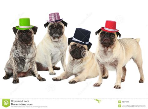 pugs with hats four pugs with hats stock photo image 48679280