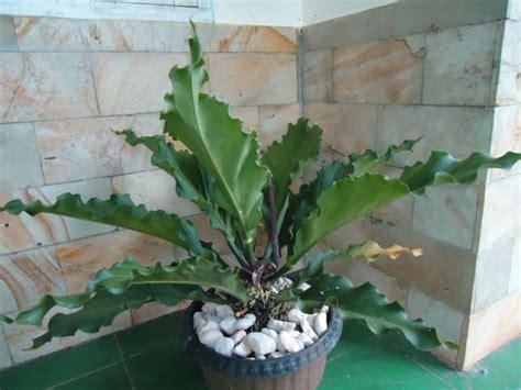 Pupuk Untuk Bunga Keladi anthurium gelombang cinta jual tanaman hias jual desain