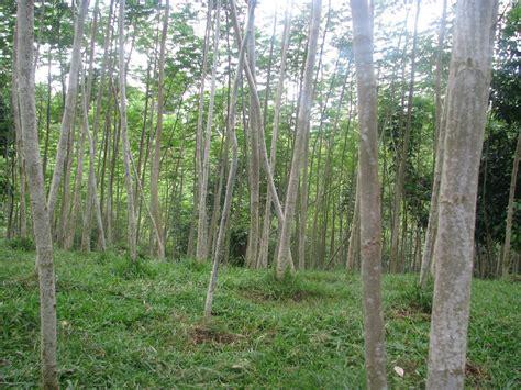 albasia dijual tanaman albasia sengon albazia