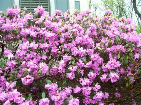 blooming shrubs a garden treasure all through summer - Flowering Shrubs That Bloom All Summer