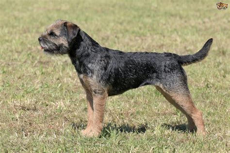 breed facts border terrier breed information buying advice photos and facts pets4homes