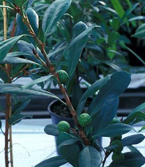 mengenal ciri pohon ficus cyathistipula tanamanbonsaicom