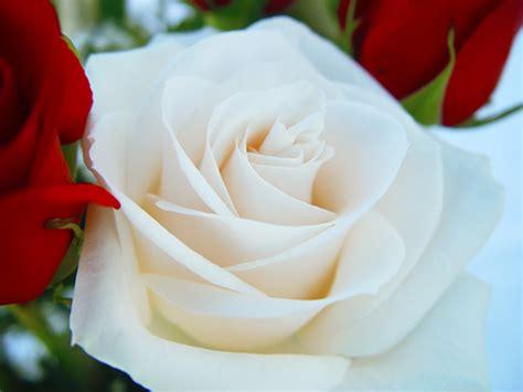 imagenes licras blancas imagenes rosas blancas imagui
