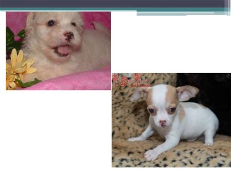 puppies west palm hypoallergenic puppies for sale west palm source to get puppi
