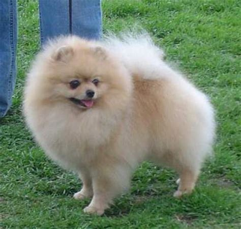 perros pomeranian related keywords suggestions for imagenes de perros pomeranian