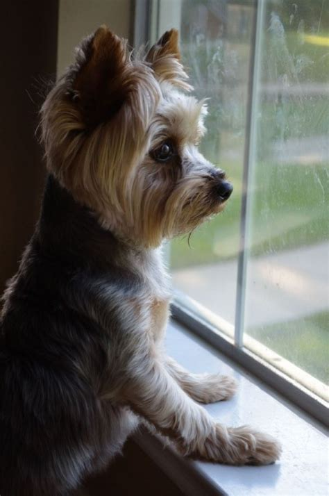 pictures of puppy haircuts for yorkie dogs 21 best yorkie haircuts images on pinterest yorkies