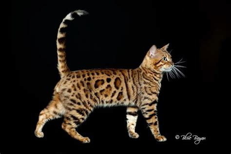 breeder directory breeder directory bengal breed breeds picture