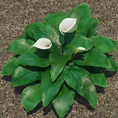 calla plant