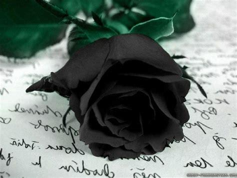 wallpaper mawar hitam hd black rose wallpapers wallpaper cave