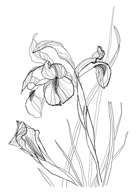 drawing irises  stock vector illustration  graphic
