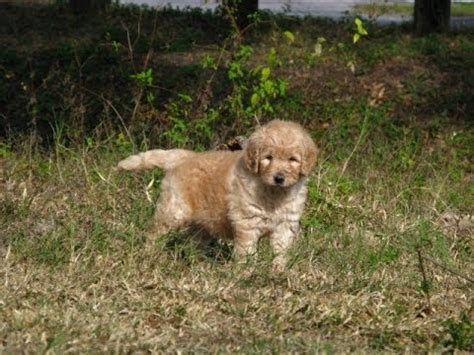 doodle puppies for sale california goldendoodle puppies for sale in sacramento county