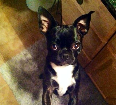 pug bug boston terrier x pug bug in llanelli breeds picture