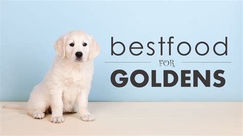food for golden retriever best food for golden retrievers the the bad