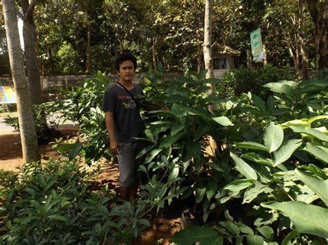 Bibit Buah Jambu Air Unggul bibit tanaman jambu air dalhari unggul bergaransi bibit