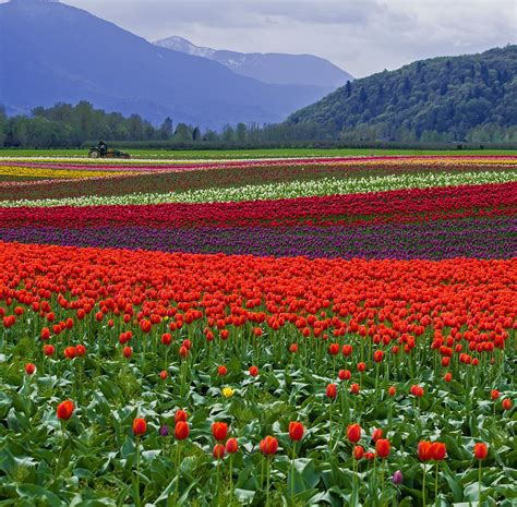 Plantation Home Decor Field Of Tulips Photograph By Jordan Blackstone