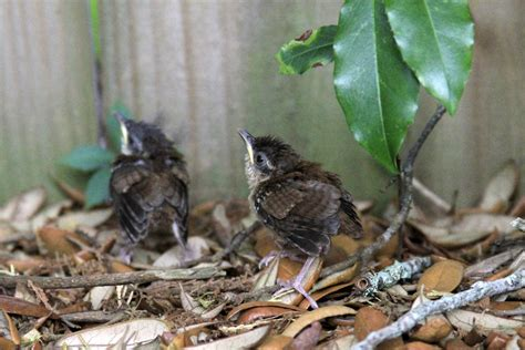 carolina wrens in and off the grill outdoor gulf coast