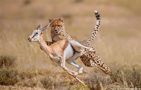 imagenes de leones cazando guepardo cazando una gacela impresionante animales en video