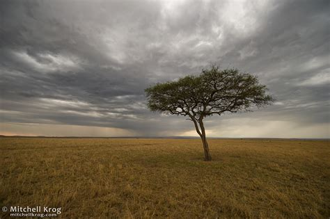 photo lone tree landscape maasai mara kenya