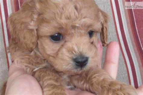 cockapoo puppies indiana cockapoo puppy for sale near louisville kentucky 3ffb563d cb71