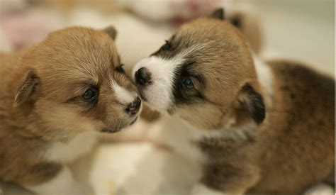 how much do corgi puppies cost corgi puppies pictures png