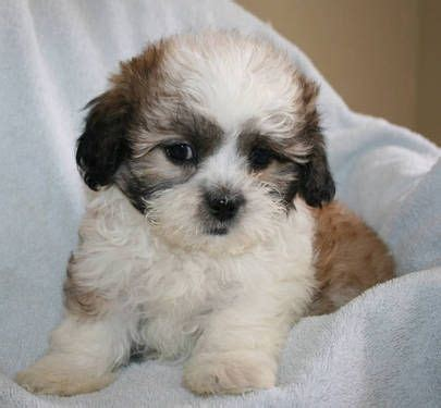 bichon mixed with shih tzu bichon frise shih tzu mix photos all puppies pictures and wallpapers breeds picture