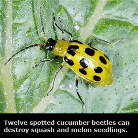 vegetable garden pests insects vegetable gardens mississippi state