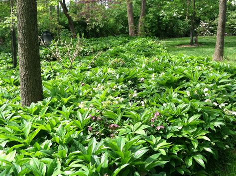 from the ground up choosing the right ground cover for shade the garden diaries