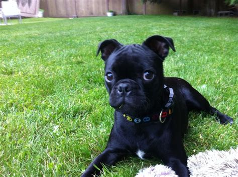 staffy pug 1000 images about bugs on terrier puppies i am blessed and pug