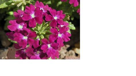 imagenes de flores ornamentales plantas ornamentales plantas ornamentales