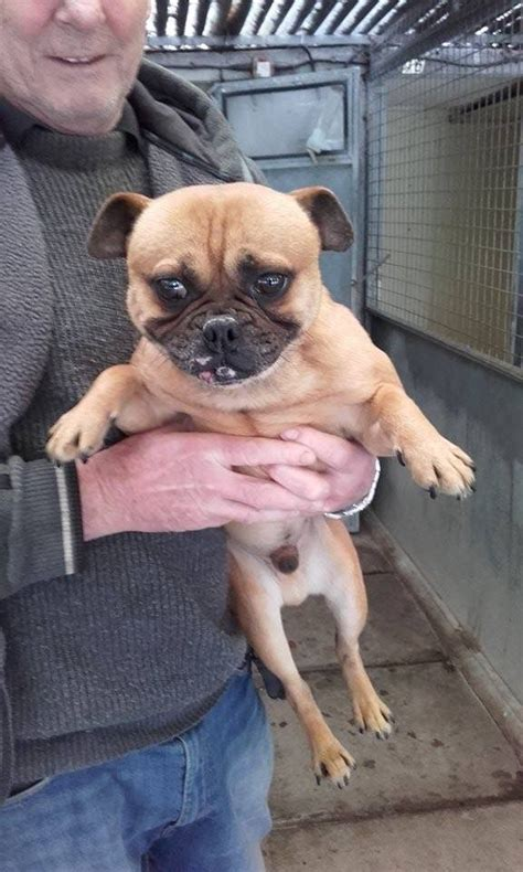 pug rescue kent jimmy pug x located in kent south east pets4homes