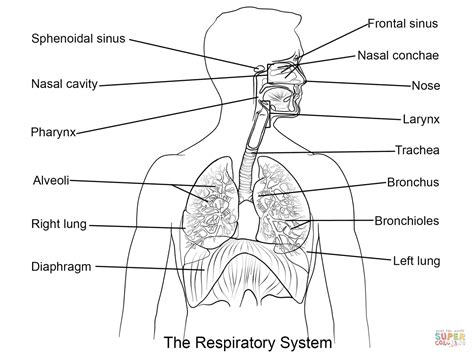 Respiratory System Coloring Page Free Printable Coloring Respiratory System To Coloring
