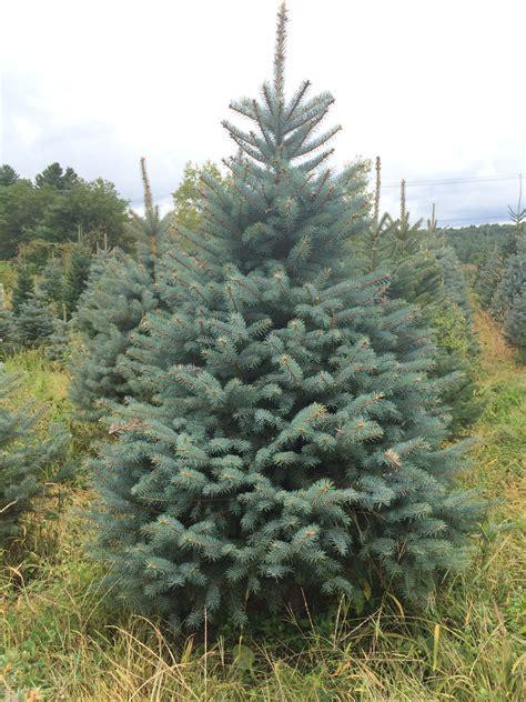 collection of colorado christmas tree christmas tree