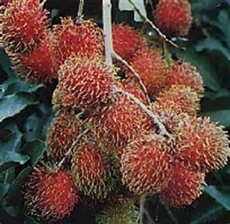 Rambutan Binjai Kondisi Berbunga 1 budidaya tanaman rambutan binjai