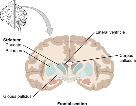 frontal section of brain the central nervous system 183 anatomy and physiology