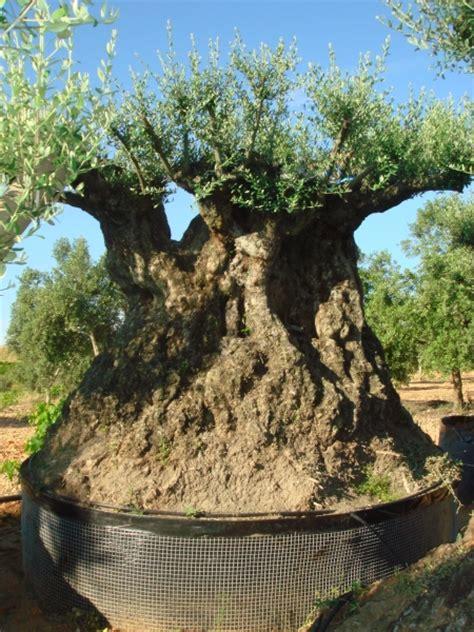 ulivi da giardino ulivi bonsai ulivi secolari piante e giardini import