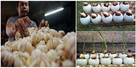 Pupuk Kalsium Untuk Bawang Merah pusing harga bawang makin perih yuk coba tips cara mudah