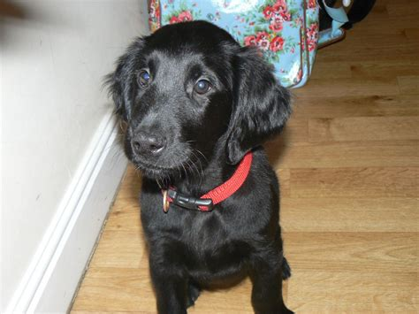 flat coat retriever puppies flat coated retriever puppies for sale ready now chorley lancashire pets4homes