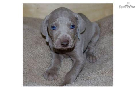 weimaraner puppy for sale weimaraner breed nicknames weimaraner voerstehhund the weims grey breeds picture