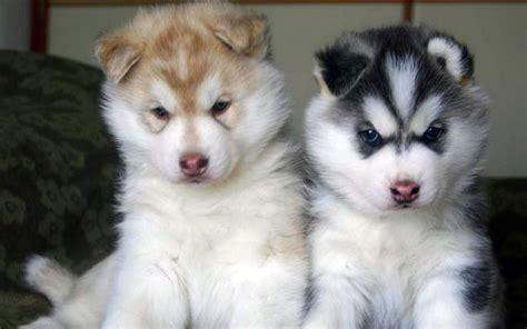 siberian husky puppies siberian husky puppies weneedfun