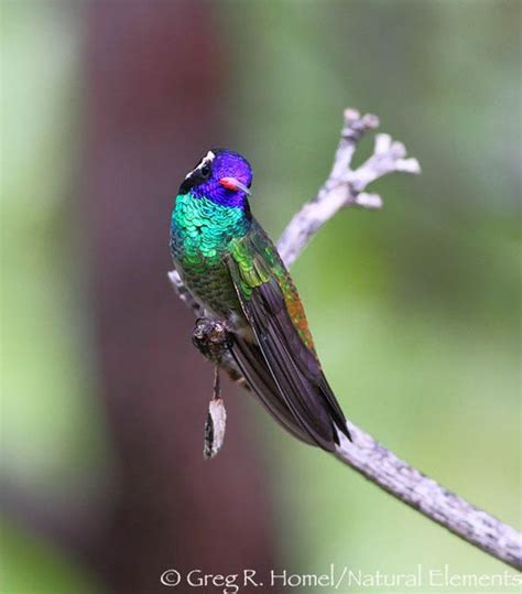 west coast hummingbirds and mexico on pinterest