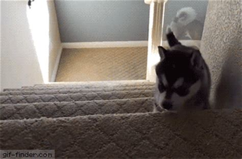 husky puppy gif husky puppy trying to walk stairs gif finder find and animated gifs